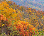 Shenandoah National Park, VA: A fall colored hillside of deciduous trees from Tunnel View on Skyline Drive