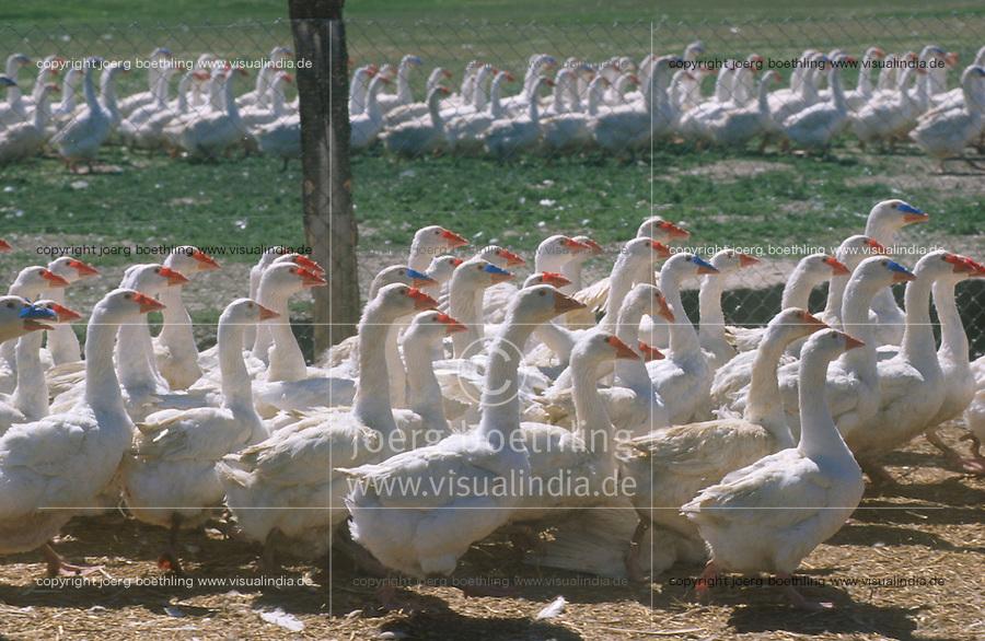 Hungary Szentes, goose geese breeding / Ungarn Szentes,  Gaensezucht fuer Daunen, Gaensestopfleber und Gaensefleisch Herstellung un Export