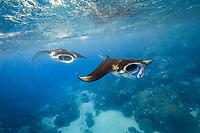 reef manta rays, Manta alfredi, feeding on plankton near the surface, Valley of the Rays, Goofnuw Channel, Yap, Micronesia, Pacific Ocean