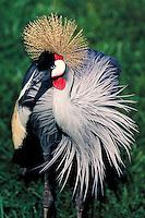 African Crowned Crane, Balearica regulorum