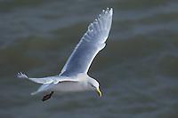 540010302 a wild glaucus gull larus hyperboreaux in flight over the gulf of alaska