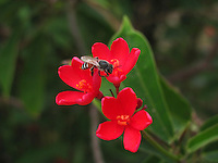 A honey bee on beautiful red Peregrina flowers.