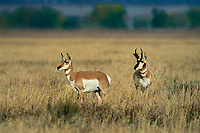 673080013 wild doe and buck pronghorn antelope antilocarpa americana pose in a tall grass field near grand tetons national park wyoming