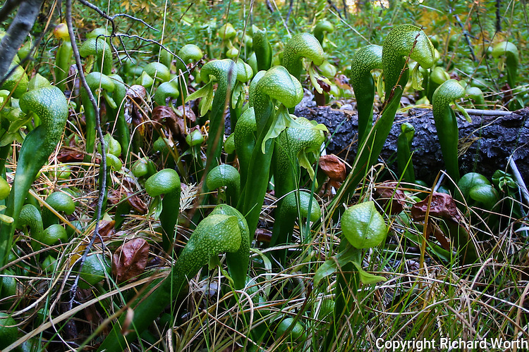 Darlingtonia californica plants in Sweetwater Marsh at Butterfly Valley Botanical Area, Plumas National Forest, California.