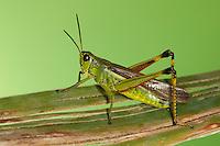 Sumpfschrecke, Sumpf-Schrecke, Stethophyma grossum, Mecostethus grossus, Large marsh grasshopper