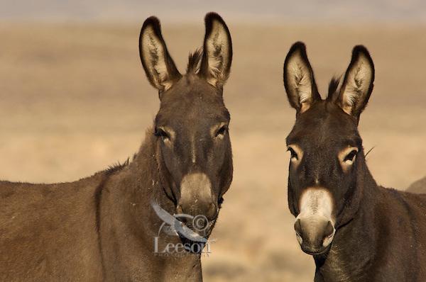 Wild Burros (Equus asinus), originally from North Africa, in desert area of American West.