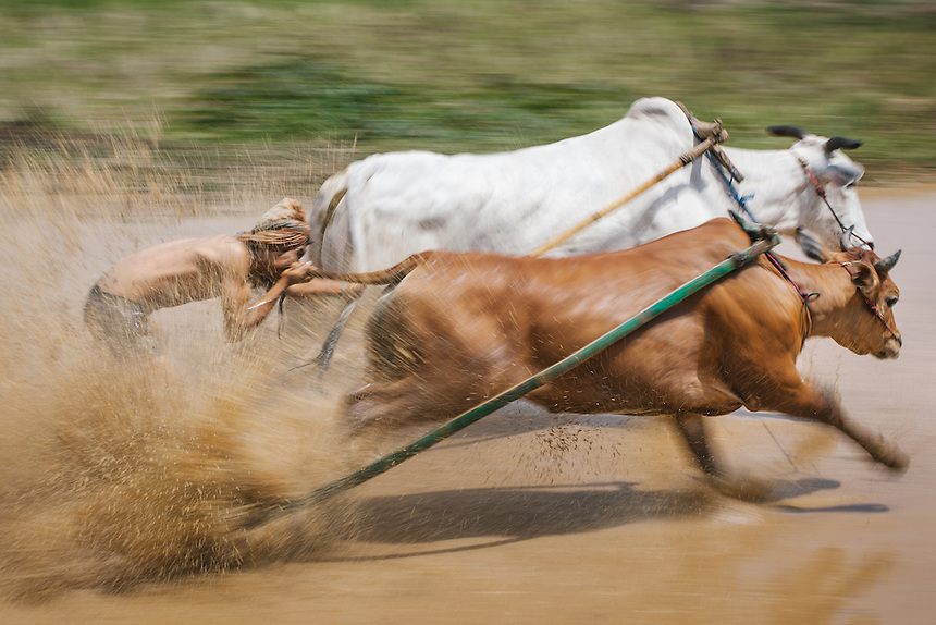 A rider spurs his bulls by biting the tail during the race.