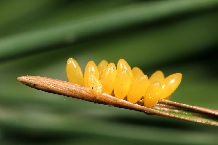 Eyed Ladybird - Anatis ocellata<br /> eggs
