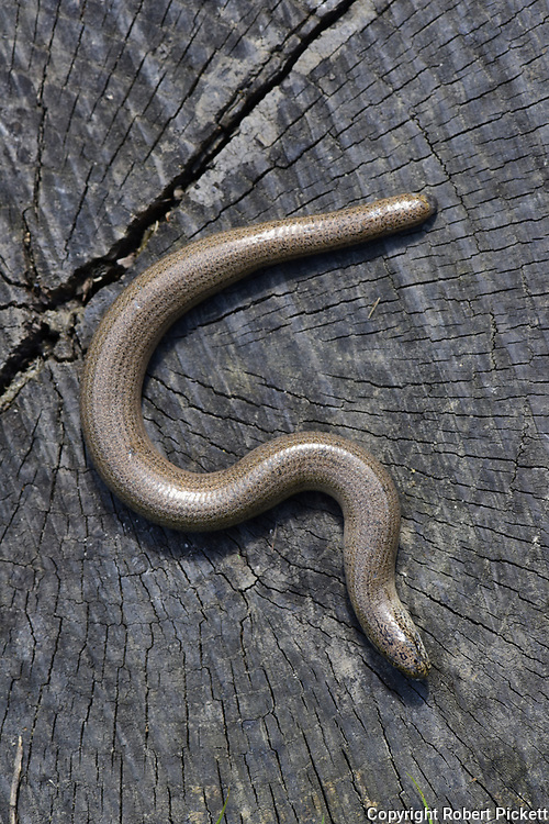 Slowworm, Anguis fragilis, basking in sunshine to get warm, Monkton Nature Reserve, Kent UK,legless lizard