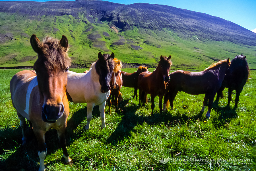 Iceland. Icelandic horses at Laxardal. This is a breed  of horse  developed in Iceland.