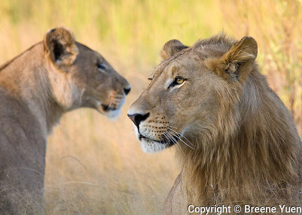 Young Lion and Lioness keep an eye out