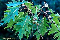 Oak Trees -  Life Cycle