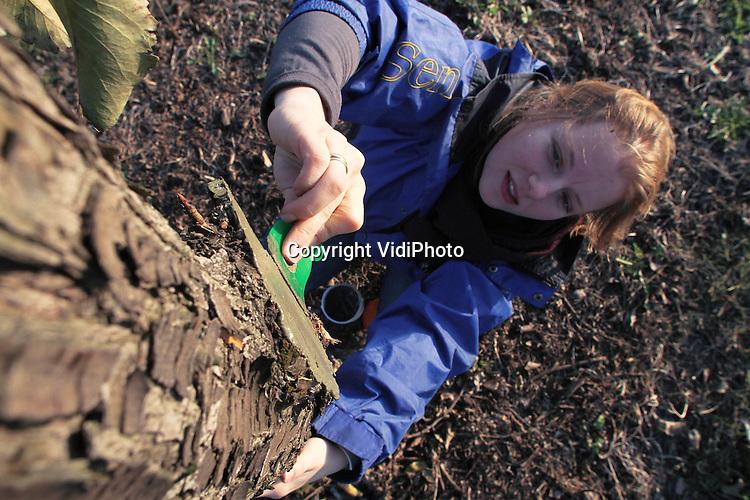 Foto: VidiPhoto..MIDDELBURG - Een hoogstam perenboom in je tuin. Dat is de nieuwste Nederlandse tuintrend. Een medewerkster van Boomkwekerij Luiten in Middelburg verzorgt dinsdag de 'wonden' van de pasgesnoeide perenbomen met lakbalsem om infectie van schimmels te voorkomen. De Zeeuwse boomkweker heeft met de handel in 'volwassen' hoogstamperenbomen een gat in de markt ontdekt. Nadat de trendgevoelige olijfboom mede door de hoge aanschafprijs uit de gratie van de consument raakte, ging Luiten op zoek naar een goedkoper alternatief. Dat vond hij in de karakteristieke oude perenboom, waarvan de boomkweker er inmiddels honderden bij Zeeuwse fruittelers heeft opgekocht. Die planten vervolgens laagstam fruitboompjes. Volgens Luiten zijn de perenbomen niet aan te slepen. Om een hoogstamvorm te krijgen, worden de onderste takken verwijderd..
