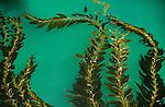 Giant kelp, Point Lobos State Reserve, California, USA