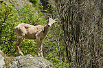 Curious young bighorn sheep on rocky cliffs in Montana