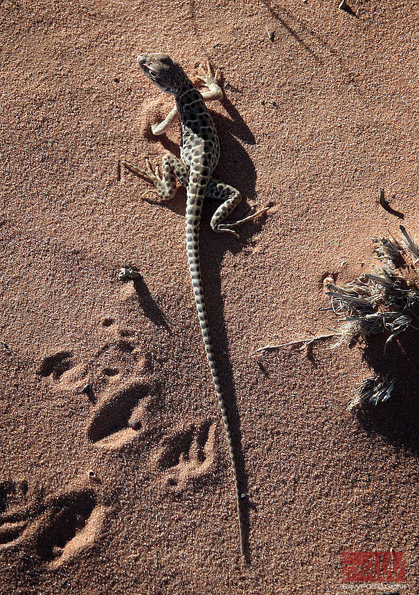 A lizard leaves tracks in the red sand among the rock formations at Paria Canyon-Vermillion Cliffs Wilderness, Sept. 13, 2007. The Vermillion Cliffs Wilderness, near Page, Arizona is home to canyons and amazing rock formations. The area is so sensitive that the park service only allows a total of 20 people in the park per day. Permits are given through a lottery.