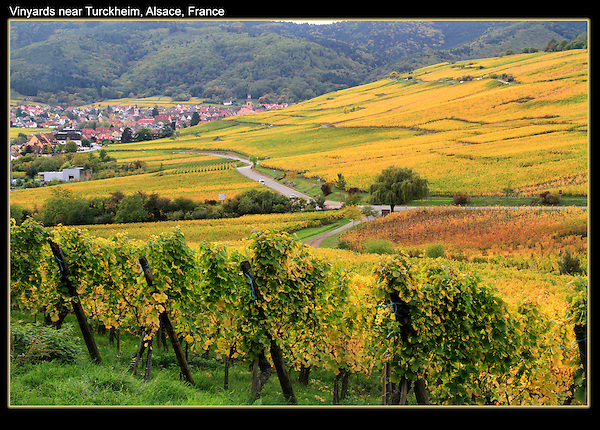 October, hardly a tourist (or anyone) in sight. <br /> Autumn vineyards surrounding Turckheim, Alsace, France.