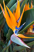 Strelitzia reginae (Bird of Paradise, Crane Flower) at San Diego Botanic Garden