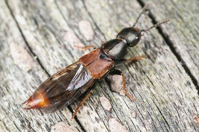 Cinnamon Rove Beetle (Platydracus cinnamopterus), West Harrison, Westchester County, New York