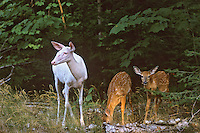 Albino White-tailed Deer doe with two normal colored fawns. Great Lakes Region.  Summer.