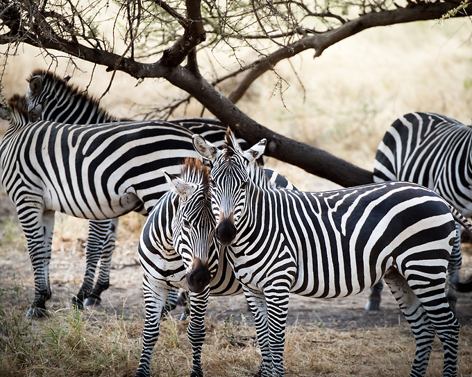 Two young zebra showing affection, Serengetti.