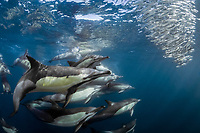 long-beaked common dolphin, Delphinus capensis, a large pod of dolphins, cooperatively hunting, attacking and feeding on sardine bait ball, South African pilchard, Sardinops sagax ocellatus, East London, South Africa