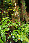Ferns at the base of a large cedar tree in the rain