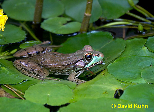 0714-07tt  Green frog - Lithobates clamitans, formerly Rana clamitans © David Kuhn/Dwight Kuhn Photography