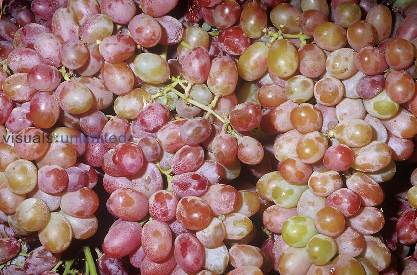 Grapes (Vitis) variety Crimson Seedless