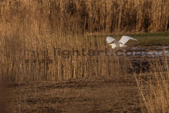 Silberreiher (Ardea alba, Syn.: Casmerodius albus, Egretta alba) gehört zur Familie der Reiher, Herons, Egrets, and Bitterns, Ardeidae. Egelsee, Mauren, Rheintal, Rhine-valley, Liechtenstein.