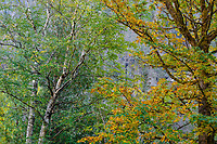 Birch and Bigleaf Maple TRees