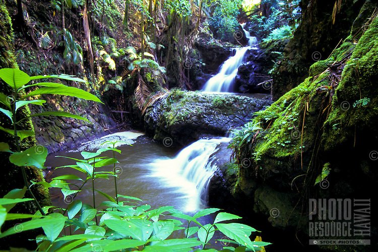 Onomea falls, waterfall and forest scenery in Hilo