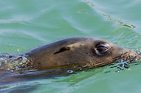 California sea lion (Zalophus californianus) swimming.  Central California Coast.