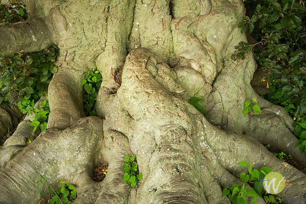Harkness Memorial State Park. Beach tree trunk roots.