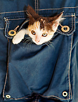 A small kitty inside a pocket