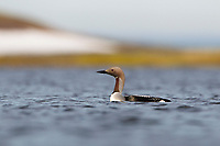 Arctic Loon (Gavia arctica) on a tundra lake. Chukotka, Russia. June.