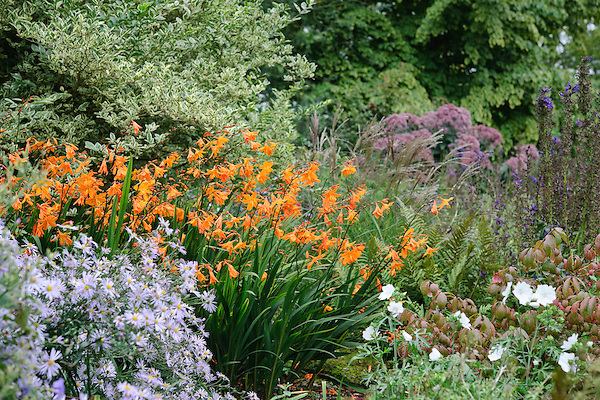 Crocosmia 'Star of the East'