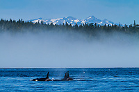 Canada, British Columbia. A pod of Orcas swim in Johnstone Strait in front of majestic mountains.