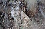 Canadian Lynx, Arctic National Wildlife Refuge, Alaska