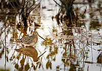 Wilson's Snipe standing in water in marsh with reflection