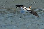 American Avocet in Flight, Breeding Plumage, Baylands Nature Reserve, Palo Alto Wetlands, California