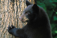 Young Black Bear stands against tree for better look around.  Great Lakes Region.  Summer.