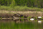 Trumpeter swans next to a beaver lodge