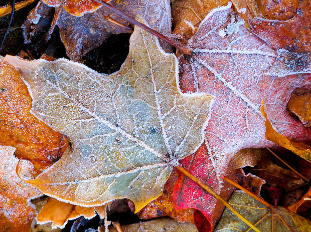 Frost encrusted leaves in November on Minnesota lakeside.