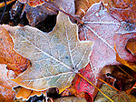 Frost encrusted leaves in November on Minnesota lakeside.