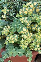 Sedum sieboldii Mediovariegatum, variegated stonecrop groundcover plant