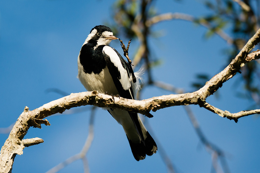 Magpie Lark, Ballina, New South Wales.
