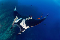 Giant Pacific manta ray, Manta birostris, with remora, Echeneida sp., being cleaned by Clarion angelfish, Holacanthus clarionensis, at the Boiler near San Benedicto Island in the Revillagigedo Islands, Pacific Ocean