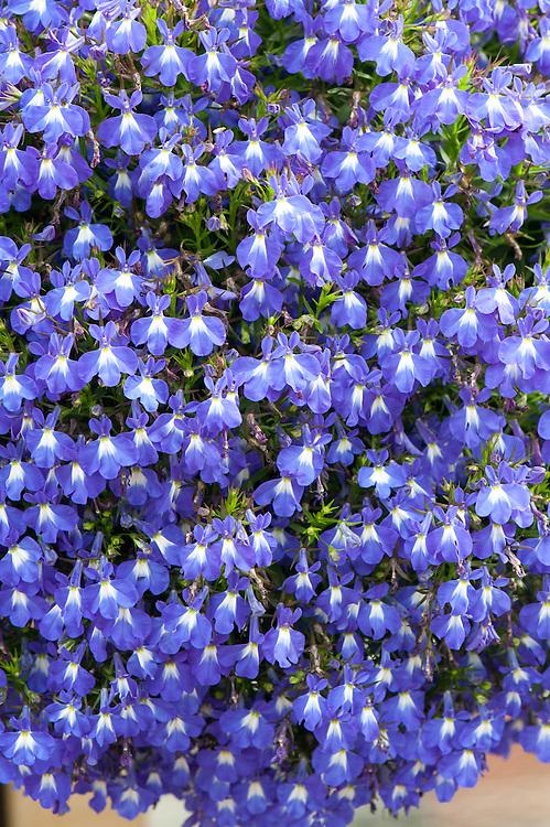 Lobelia erinus [Laguna Compact Blue with Eye] = 'Lobetis' (Laguna Series), Syngenta Seeds, RHS Wisley container lobelia trial June 2011.