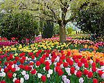 "Skagit County, WA               <br /> Colorful varieties of spring flowering tulips blooming under an ornamental cherry tree in the RoozenGaarde garden.      ""Courtesy of the Washington Bulb Co. Inc."""